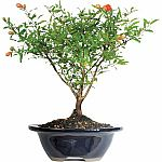 Pomegranate Bonsai Tree $24