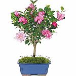 Camellia Bonsai Tree $24.02