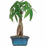 Money Tree Bonsai Tree $15.79 (Org $20.27)