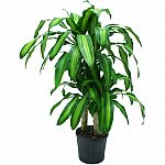 "Delray Plants Mass Cane in 10"" Pot $10 (Was $28.30)"