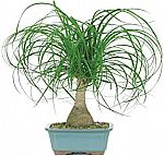 Ponytail Palm Bonsai $12