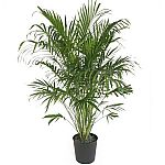 "Delray Plants Cat Palm in 10"" Pot $14.31 (Org $28.50)"