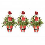 Costa Farms Live Plants: 3-Pack Fresh Norfolk Island Pine $25 & More + Free Shipping