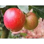Online Orchards Dwarf Honeycrisp Apple Tree Bare Root $22.74 & more