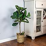 Faux Fig Tree in Basket by LCG Sales $38